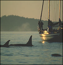 Orcas, Copyright Fred Felleman