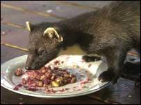 Pine Marten eating