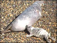 Cow seal and pup on Skomer Island
