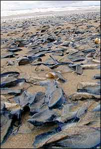 Thousands of Velella velella at Sker Point