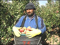 Refugee fruit picker