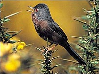 Dartford warbler, singing on top of gorse bushes. Photo by Colin Carver for the RSPB.