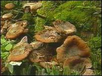 The Honey Mushroom (Armillaria ostoyae)