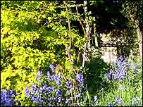 Bluebells   A Kirby