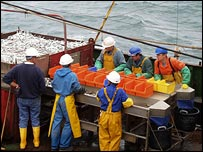 Cefas researchers count fish Cod head (� Crown copyright 2004/Reproduced with permission of Cefas, Lowestoft)