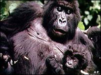 A mountain gorilla and infant, AP