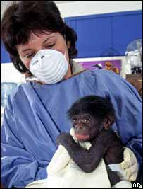 Infant bonobo in care   AP