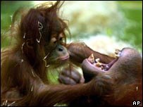 Orang-utan parent and infant   AP