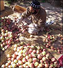 Apples in Kashmir