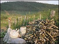 Sugar cane near Murici forest