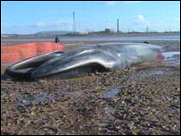 Fin whale washed up near Newport, south Wales