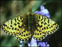 Pearl bordered fritillary