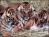 Indochinese tiger cubs