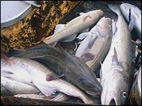 A cod catch
