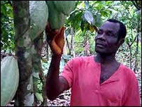 West African man checking cocoa crop
