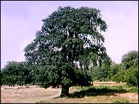 Oak, BBC
