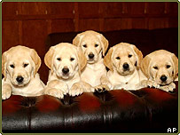 Five golden Labrador puppies