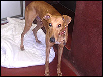Red the lurcher