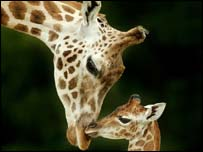 Giraffe and offspring, PA