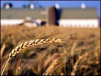 A wheat crop