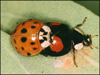 Harmonia axyridis (Cambridge University)