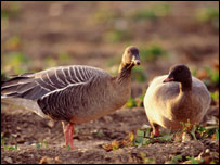 Pink-footed geese - pic A. Hay rspb-images.com