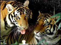 Two tigers, AP