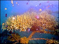 Coral (photo courtesy of the Global Coral Reef Alliance)