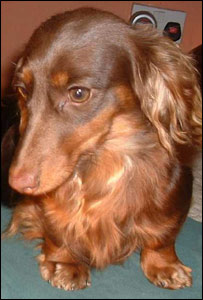 Chocolate the dachshund