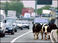 Cows on M1