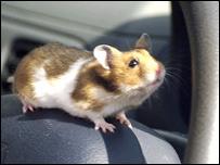 Bob the hamster
