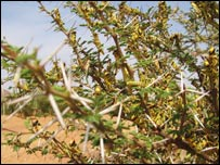 Locusts crammed on the branches of a tree, Kiffa, Mauritania