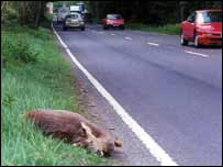 Dead deer on road