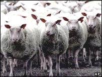 Herd of sheep. AP