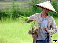 A Vietnamese farmer harvests her rice crop, AFP