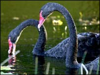 Black swans, AP
