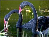 Black swans, AP
