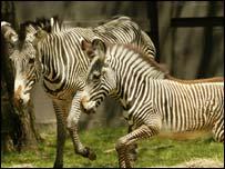 Zebra's, AP