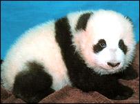 Baby panda, AP