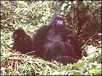 mountain gorillas in Bwindi-Impenetrable