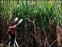 sugar cane being chopped in Cuba