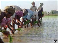 Labourers on an Indian rice paddy
