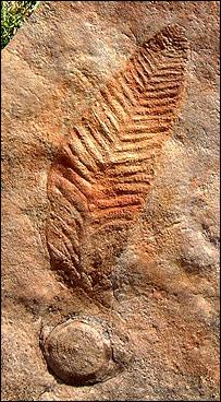 Ediacaran fossil, Jim Ogg