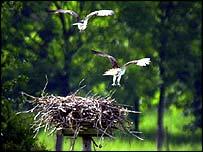 Ospreys and nest   PA