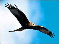 Red kite in flight   PA