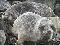 Grey seal pups