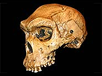 Homo heidelbergensis   BBC