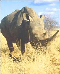 White rhino, BBC