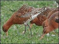 Godwit pairs (Graham Catley, Lincolnshire Bird Club)