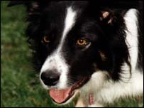Collie dog staring, Science